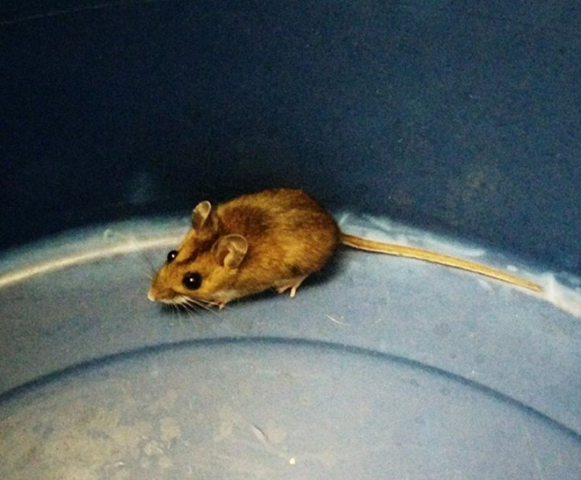 Wood Mouse from the Sink
