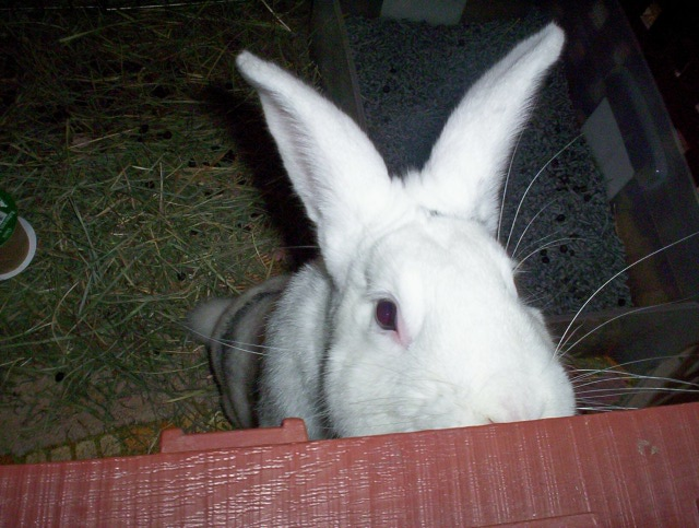 Very large white male rabbit