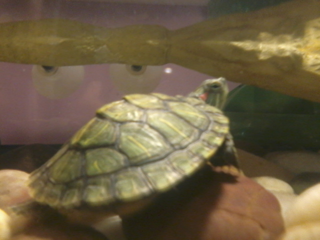 My red eared slider
