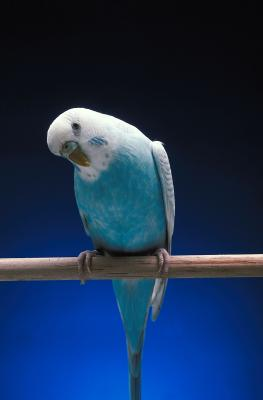 Birds will be restless and preen excessively if they are suffering from a mite infestation