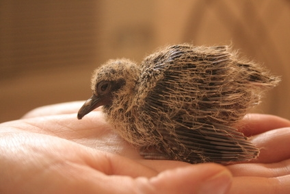 Take care of wild baby birds carefully if you find them.