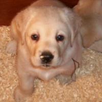 Training your Labrador Retriever to Come